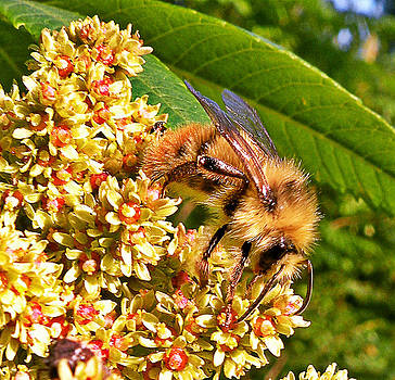 Bee on Staghorn Sumac Flower by Brian Chase