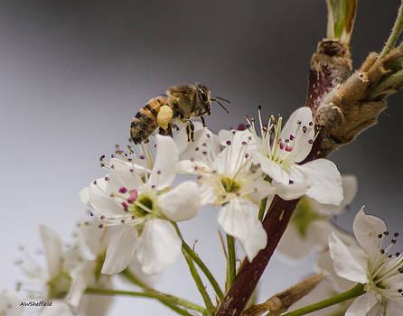 Allen Sheffield - Bee Working the Bradford Pear 1