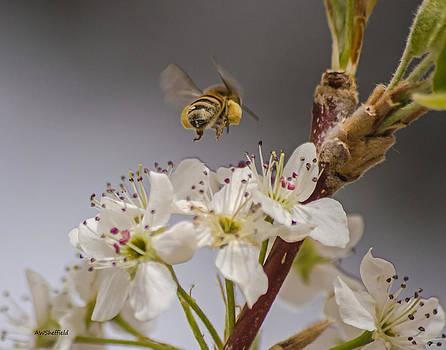 Allen Sheffield - Bee Working the Bradford Pear 2
