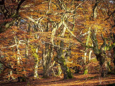 Beech tree group in autumn light by Martin Liebermann