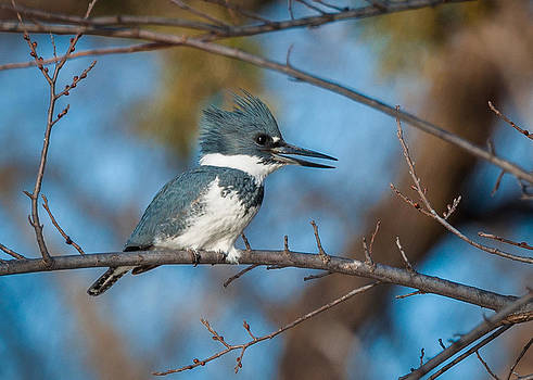 Belted Kingfisher by Linda Dyer Kennedy