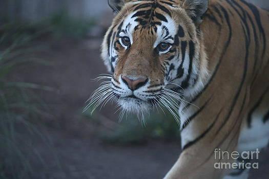 Bengal Tiger by Brenda Schwartz