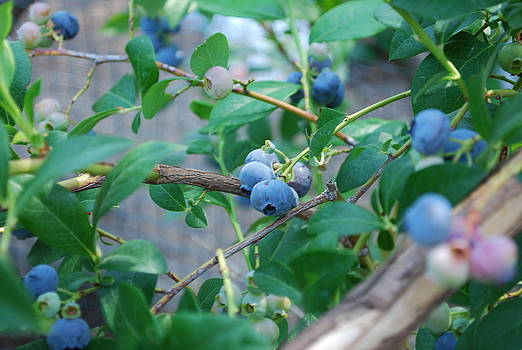 Berkeley Blueberries by Steve Masley