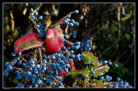 Mick Anderson - Berries and Red Leaves after the Rain