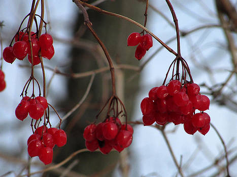 Berries in the Cold by Kimberly Mackowski