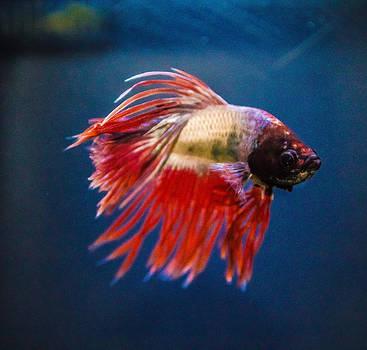 Betta Fish 2 by Lisa Brandel