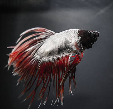 Betta Fish by Lisa Brandel