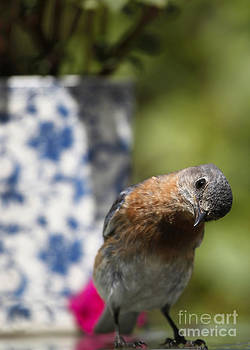 Betty Bluebird Photography by Luana K Perez