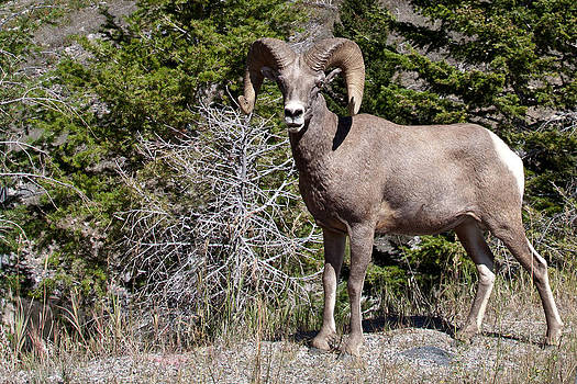 Big Horn Sheep by Eugene Dailey