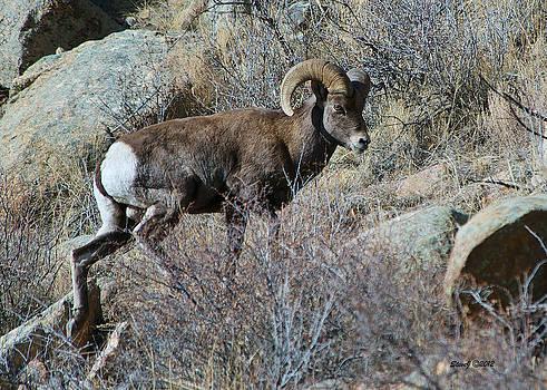 Bighorn Ram Climbing by Stephen  Johnson
