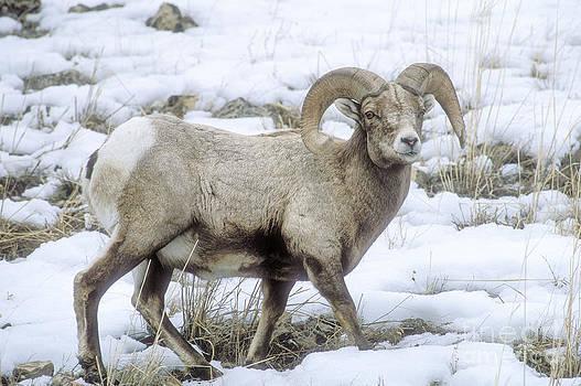 Sandra Bronstein - Bighorn Sheep
