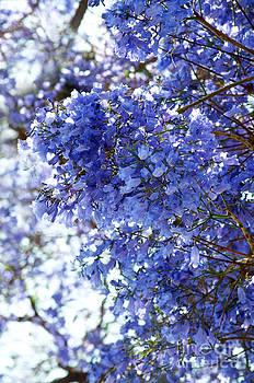 Gwyn Newcombe - Billowy Jacaranda Blossom