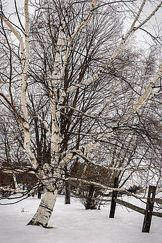 Birch and Fence in Winter by Robert Mitchell