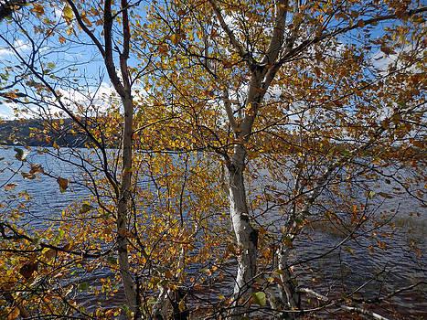 Birch and Lake by Pema Hou