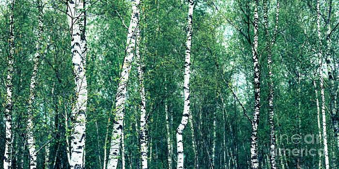 Hannes Cmarits - birch forest - green