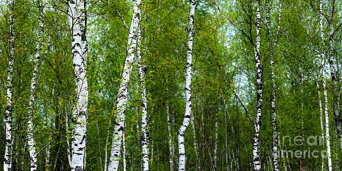 Hannes Cmarits - birch forest