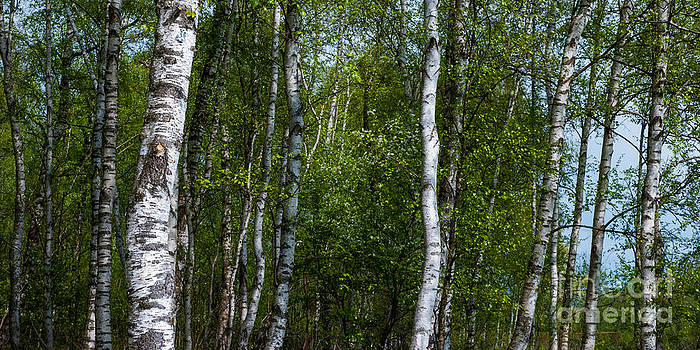 Hannes Cmarits - birch forest in the summer