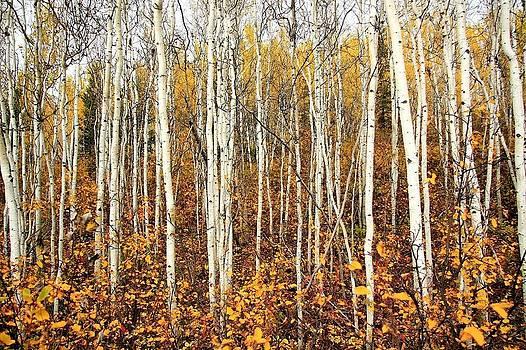 Birch Tree Forest by Scott Holmes