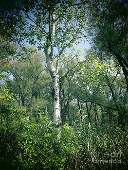Jonathan Welch - Birch Tree