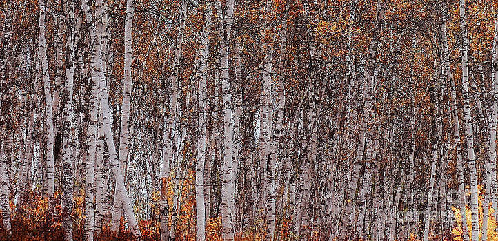 Birches by Christopher Mace