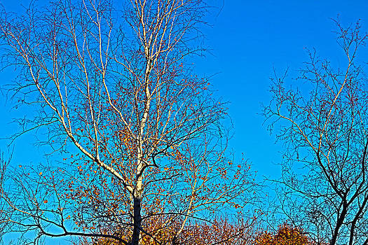 Birches by Paul Thomas