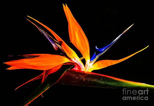 Bird of Paradise by Imani  Morales