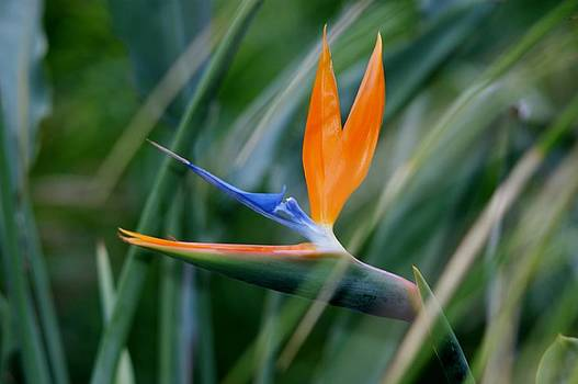 Bird of Paradise the Sequel by Valerie Beasley