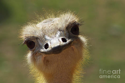 Angela Doelling AD DESIGN Photo and PhotoArt - Bird Ostrich portrait