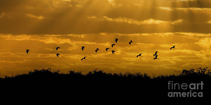 Dan Friend - Birds coming back to roost at sunset
