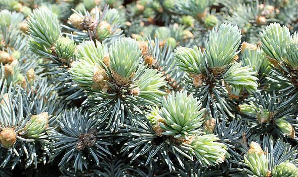 Bird's Nest Spruce by Laura Watts