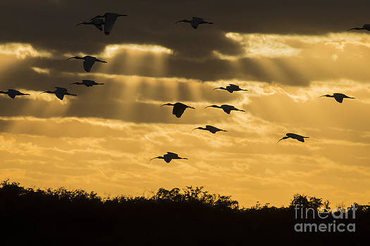 Dan Friend - Birds returning to roost at sunset in Everglades