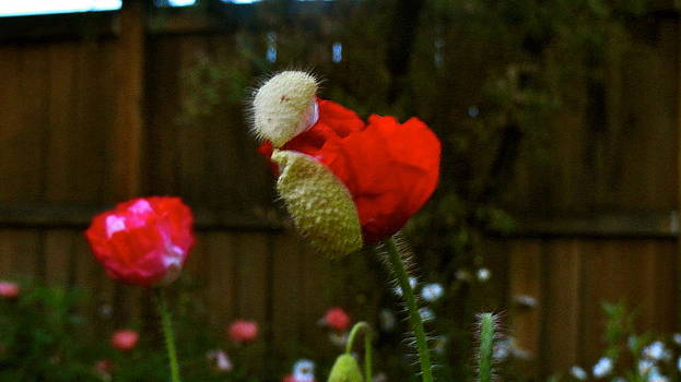 Birth of a Poppy by Katie McGuire