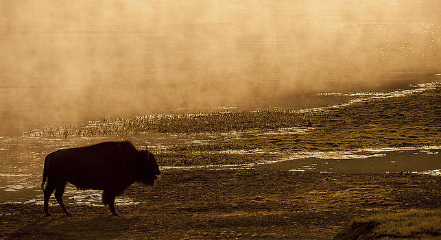 Bison at Daybreak by Amy Gerber