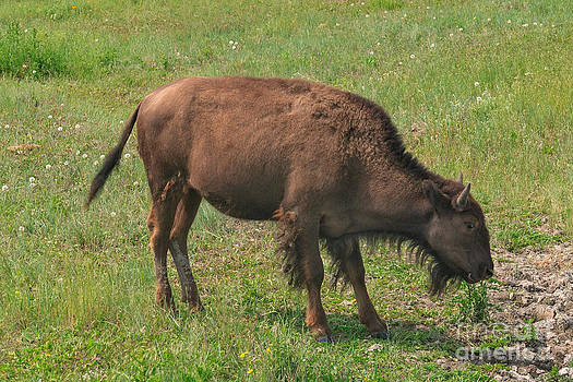 Charles Kozierok - Bison Calf Lunch