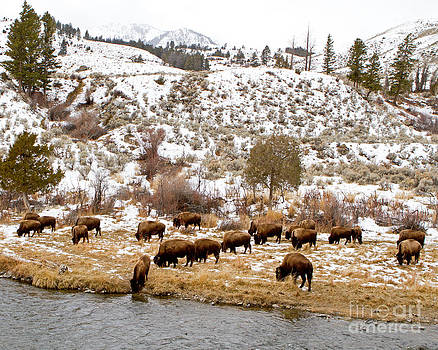 Bison Grazing by Lloyd Alexander-Pictures for a Cause