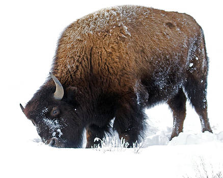 Bison Shovel by Lloyd Alexander-Pictures for a Cause