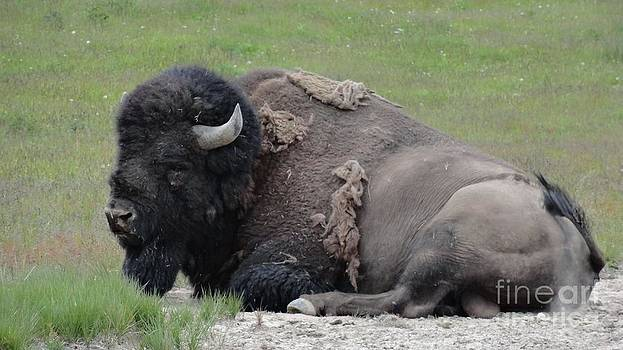 Bison by Tammy Arne