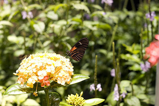 Terry Thomas - Black and Orange Butterfly on a Yellow Flower