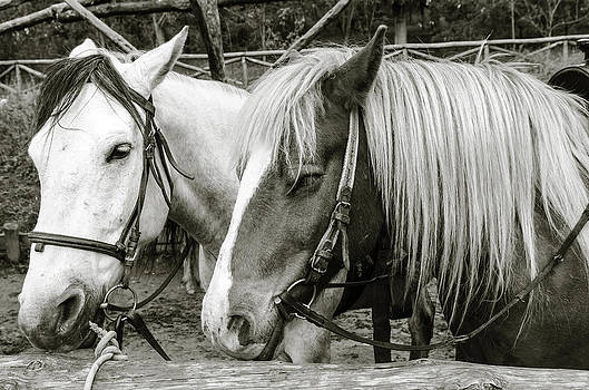 Black and white horses. by Slavica Koceva
