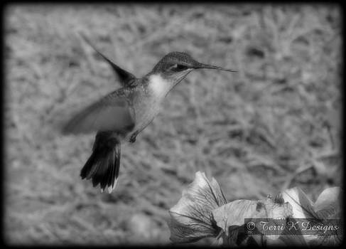 Black and white humminbird by Terri K Designs