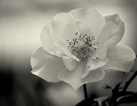 Black and White Rose by Amee Cave