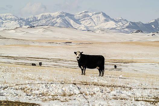 Black Baldy Cows by Sue Smith