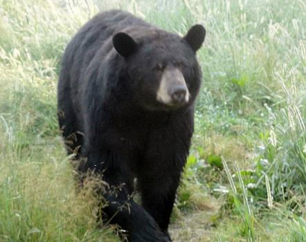 Black Bear Afternoon Walk by Jody Benolken