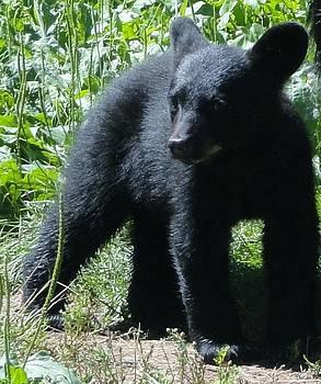 Black Bear Cub Exploring by Jody Benolken