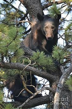 Black Bear  by Greg Davis