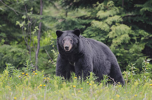 Black Bear in Dandelions by Lisa Hufnagel