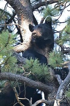 Black Bear observing the surroundings by Greg Davis