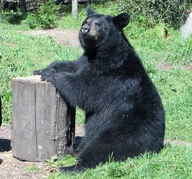 Black Bear Sunny Day by Jody Benolken