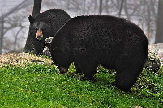 Mary Almond - Black Bears
