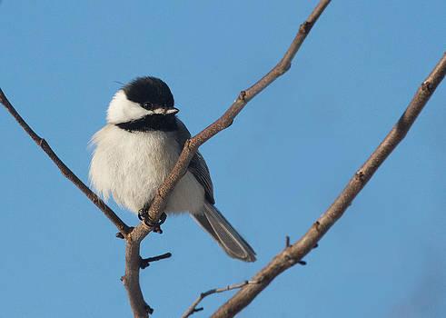 Black-capped Chickadee and Blue Sky by Diane Porter